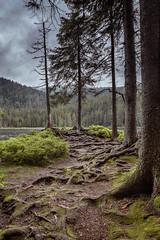 Arbersee Baumwurzeln (silkefoto) Tags: see wald baum arber waldboden bayrischerwald baumwurzeln arbersee