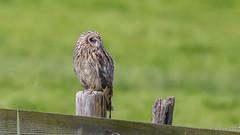 5D3_2671_1280! (kiekjesdief.nl/vogels) Tags: velduil