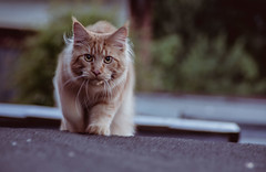 Over the roof top (gernot.glaeser) Tags: cats pets nature animal animals germany tiere europe explore deu ruleofthirds