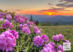 Roan Mountain Carolina Rhododendron (cathyandersonphoto) Tags: sunset tennessee northcarolina rhododendron bloom blueridgemountains appalachiantrail appalachianmountains pisgahnationalforest cherokeenationalforest grassyridge roundbald grassybald carolinarhododendron janebald