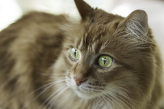 Mandy Monday: Intentions (Photo Amy) Tags: red orange pet cute cat fur ginger furry kitten feline tabby longhair adorable fluffy whiskers precious whisker cuddly cuteness longhaired aminal ef50mm18 eartufts toefur canon50d
