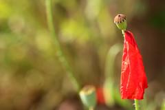 Like A Scarlet Monk (gripspix (OFF)) Tags: 20160612 natur nature plant pflanze poppy mohn papaverrhoeas klatschmohn petal bltenblatt hanging hngend monkleike mnchartig vintagelens altesobjektiv nikkor 1850