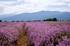 lavender field (teodorpk) Tags: mountain nature field purple lavender shipka stara  kazanlak planina