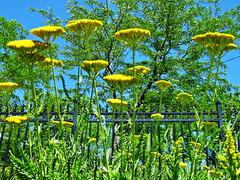 1 Blue Sky 2 or Flower Invasion (Mertonian) Tags: wall fence invasion mertonian robertcowlsihaw lunchwalk ineffable blue sky noon canon powershot sx60hs canonpowershotsx60hs wonder beauty bluesky green yellow
