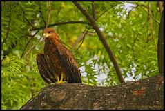 Black Kite (bodhijobs) Tags: kite black ef100400mm egret delhi 7d ndmc india birds lodi garde garden canon raptors claws