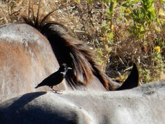 Estorninhos a cavalo (LuPan59) Tags: birds fauna aves oeiras cavalos lupan59 estorninhos