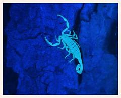 Bark Scorpion (gauchocat) Tags: arizonasonoradesertmuseum tucsonarizona