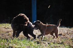 DSC_0063 (juliapee) Tags: dogs spring borderterrier dogsplaying lagotto romangolo