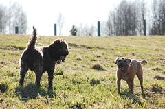 DSC_0173 (juliapee) Tags: dogs spring borderterrier dogsplaying lagotto romangolo