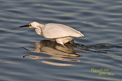 Snowy Egret Looking for Dinner Before Sunset at Mill Creek Marsh in Secaucus NJ (Meadowlands) (takegoro) Tags: creek golden marsh magic nature wildlife sunset snowy meadowlands egret mill nj hour birds secaucus egret