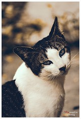 Do you looking at me? (Eriezmaria) Tags: pets animals cat sephia sonyalpha