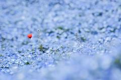 I Won't Blend In (lestaylorphoto) Tags: park camera travel flowers blue sea orange japan les photoshop photography seaside spring nikon zoom bokeh may leslie taylor  mito  70300mm gaijin  hitachi ibaraki lightroom           nemophilia lr4  d7000
