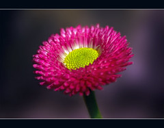 Pink Daisy (FocusPocus Photography) Tags: pink flower macro garden blossom daisy bloom blume blte garten gnseblmchen