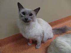 Putin (Rayya The Vet) Tags: cat feline dental anaesthetic geriatric balinese vetdentistry