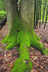 Mixed Mesophytic Forest (10) (Nicholas_T) Tags: trees nature forest moss spring hiking pennsylvania roots creativecommons trunk lancastercounty basswood leaflitter understory riverhills lancastercountyconservancy tiliaamericana ferncliffnaturepreserve ferncliffwildflowerandwildlifepreserve ferncliffwildlifeandnaturepreserve