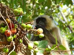 "Mono comiendo fruta • <a style=""font-size:0.8em;"" href=""http://www.flickr.com/photos/92957341@N07/8749363393/"" target=""_blank"">View on Flickr</a>"