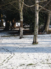 Trail Through The Trees (mdavidford) Tags: trees winter white snow tracks footprints trail bark birch abingdon abbeygrounds