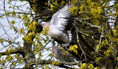 Woodpigeon Pair in Tree (Dave McGlinchey) Tags: birds pair avian rspb gardenbirds woodpigeon