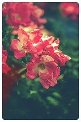 Wall (Iulia | Pironea) Tags: barcelona life park flowers light red roses flower macro love beautiful beauty rose canon 50mm focus soft florida bokeh live