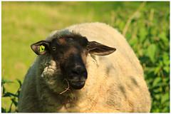 Springtime (9) (H. Bos) Tags: haven nature grass animal sheep natuur lamb gras lente sheeps dier lam springtime almere schapen schaap lammetje littlelamb waterlandsebos