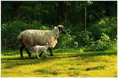 Springtime (2) (H. Bos) Tags: haven nature grass animal sheep natuur lamb gras lente sheeps dier lam springtime almere schapen schaap lammetje littlelamb waterlandsebos