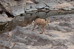 Dingo at Ormiston Gorge Waterhole (Serendigity) Tags: wild dog reflection nature water animal nationalpark sand rocks desert australia outback gorge dingo northernterritory ormistongorge westmacdonnellranges