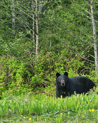 Bear Country (Victor Wei.) Tags: road bear nature alaska tour juneau teddybear wilderness roadside blackbear