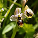 Ophrys neglecta (flower)