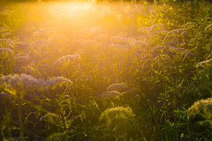 05-2013_06_12_21-__ (Yury Augulis) Tags: sunset summer nature beauty grass      2013