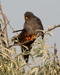 Red-footed Falcon [male]