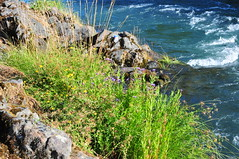 DEH_7121 (sobca) Tags: oregon river oakridge willamettenationalforest highway58 middleforkwillametteriver greenwaterspark 97463 greenwatertrail larisonrocktrail