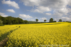 A Springtime Idyll (right2roam) Tags: flowers england field yellow rural spring farm agriculture canola linton rapeseed chilfordhall colzas balsham right2roam