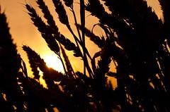 Sunset in the middle field (kosek) Tags: sunset sky cloud sun flower nature field landscape 50mm nikon colours bokeh crisp nikkor d7000 nikond7000