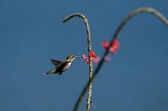 (DigitalCanvas72) Tags: flowers ny bird nature birds butterfly outdoors nikon hummingbird bokeh flight birdfeeder fast vine longisland telephoto honeysuckle quickbird newyorl birdphotography baitinghollow nikon70300mmvr fastwings hummingbirdsanctuary nikond7000