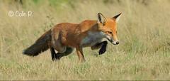 RedFox (Vulpes vulpes) (Col-Page) Tags: