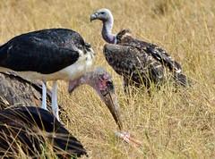 DSC_8559 (H Sinica) Tags: safari vulture masaimara maraboustork maasaimara ruppellsgriffonvulture