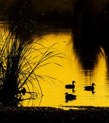 Ducks (Davor Desancic) Tags: fremont mallard coyotehills ebparksok