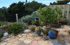 Summer doldrums in a garden i designed / installed three years ago. (pete@eastbaywilds.com) Tags: hillside
