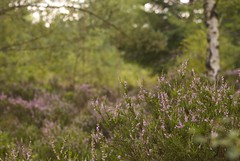 Golden Heather (CJ5ive) Tags: tree nature forest dof bokeh heather