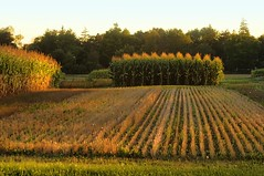 Corn rows (beyondhue) Tags: city sunset sun plant ontario canada landscape golden corn experimental farm ottawa low harvest row agriculture beyondhue