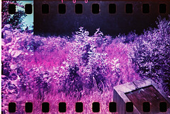 Walthamstow Marshes - Lomochrome Purple - Foliage (Michael Goldrei (microsketch)) Tags: park bridge color film nature forest 35mm lomo lomography purple hole reserve holes negative diana chrome f valley lea dianaf xr walthamstow sprocket sprockets marshes 100400 walthamstowe lomochrome