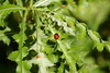 Ladybug (sebadore) Tags: plants plant macro green nature grass animals canon bug insect leaf image ladybug botanic needles plantsinmacro