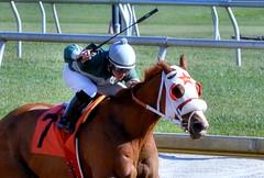 2012-11-16 (37) r1 Yomar Ortiz on #7 Nolita (JLeeFleenor) Tags: horses caballo cheval photography md photos uma maryland cal jockey chestnut horseracing jinete cavallo cavalo pferd equestrian kuda alogo equine hest thoroughbreds soos hevonen cuddy paard cavall kon koin laurelpark  jokey fantino hst ceffyl  jquei  ko faras hestur  perd ngi thoroughbredracing  konj    capall beygir yarraman dokej rennreiter  pfeerd marylandhorseracing marylandracing   okej kilparatsastaja jocheu     yomaroortiz