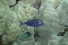 box canyon (BarryFackler) Tags: ocean life sea fish nature water ecology animal coral fauna island hawaii polynesia bay marine underwater pacific being dive scuba diving sealife pacificocean tropical moa marinebiology diver bigisland aquatic reef creature biology undersea kona ecosystem coralreef marinelife vertebrate zoology seacreature boxfish marineecology organism honaunau konacoast hawaiicounty southkona hawaiiisland 2013 marineecosystem westhawaii spottedboxfish ostracionmeleagris konadiving hawaiidiving sealifecamera barryfackler barronfackler omeleagris