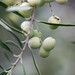 2013 Jordan Olive Harvest 022