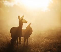 Together. (Crusade.) Tags: park uk england mist london sunrise canon bokeh richmond deer 70200f28 5d2