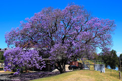 Jacaranda mimosifolia - Jacaranda, Civic Park, Singleton, NSW (Black Diamond Images) Tags: purple australia nsw jacaranda huntervalley purpleflowers singleton floweringtrees bignoniaceae jacarandamimosifolia civicpark hunterregion beautifulfloweringtrees purplefloweringtrees purplefp