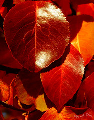 ~Sun-Kissed Leaves~ (Ronald Day) Tags: autumn red orange fall leaves yellow gold colorado autumnleaves fallfoliage