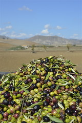 olive siciliane (costagar51) Tags: italy enna italia natura sicily sicilia bellitalia catenanuova goldstaraward regionalgeographicsicilia rgsnatura