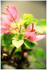 Reflections Of... (AmeliaPhotoAme) Tags: macro nature reflections small mini bougainvillea artsy bonsai bloom